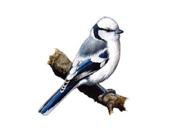 Синиця біла (Parus cyanus Pallas, 1770)