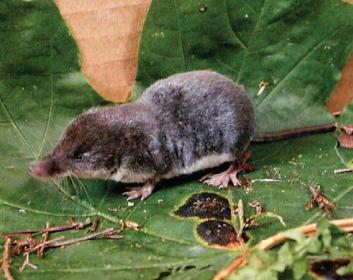 Кутора малая (Neomys anomalus (Cabrera, 1907))