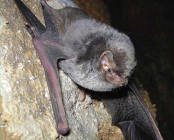 Долгокрыл обыкновенный (Miniopterus schreibersii (Kuhl, 1817))