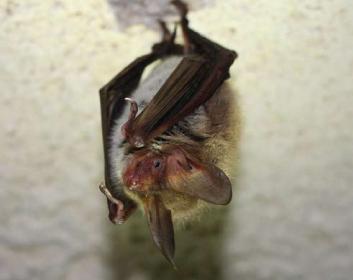 Нічниця довговуха (Myotis bechsteinii (Kuhl, 1817))