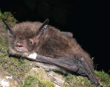Нічниця Брандта (Myotis brandtii (Eversmann, 1845))