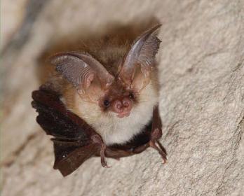Вухань звичайний (Plecotus auritus (Linnaeus, 1758))