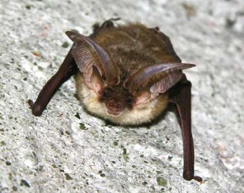 Вухань австрійський (Plecotus austriacus (Fischer, 1829))