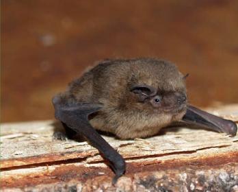 Неотопырь-карлик (Pipistrellus pipistrellus (Schreber, 1774))