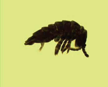 Тетрадонтофора блакитна (Tetradontophora bielanensis (Waga, 1842)  Dunger, 1961)