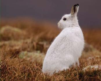 Заєць білий (Lepus timidus Linnaeus, 1758)