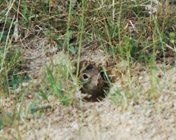 Суслик подольский (Spermophilus odessanus Nordmann, 1840)