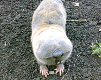 Подольский слепыш (Spalax zemni), фото грызуны фотография картинка