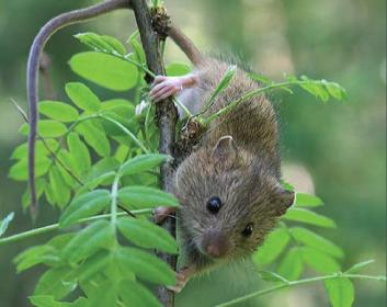 Мышовка лесная (Sicista betulina (Pallas, 1779))