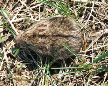 Мишівка степова (Sicista subtilis (Pallas, 1773))