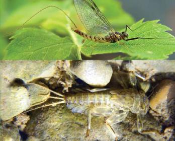 Экдионурус единственный (Ecdyonurus solus, Kłonowska-Olejnik, Prokopov & Godunko, 2007)