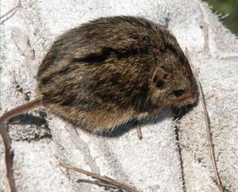 Мышовка темная (Sicista severtzovi Ognev, 1935)