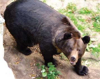 Ведмідь бурий (Ursus arctos (Linnaeus, 1758))