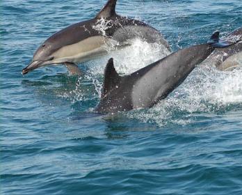 Дельфін звичайний (білобочка) (Delphinus delphis Linnaeus, 1758)