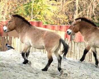 Кінь дикий (Equus caballus Boddaert, 1785)