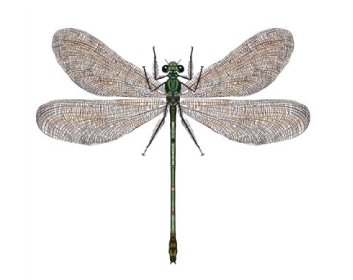 Красуня діва (Calopteryx virgo (Linnaeus, 1758))