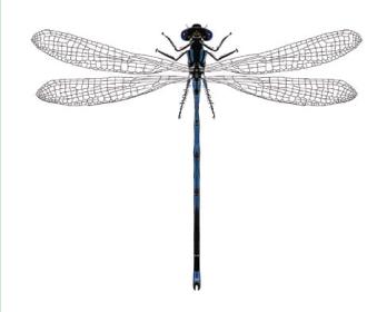 Стрілка Ліндена (Erythromma lindenii (Selys, 1840))