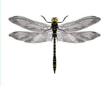 Кордулегастер кольчатый (Cordulegaster boltoni (Donovan, 1807))