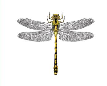 Офиогомфус цецилия (Ophiogomphus cecilia (Fourcroy, 1785))