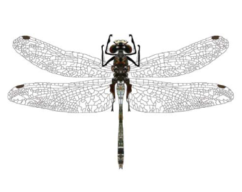 Левкоринія білолоба (Leucorrhinia albifrons (Burmeister, 1832))