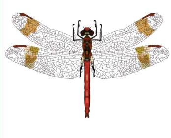 Бабка перев'язана (Sympetrum pedemontanum (Allioni, 1776))