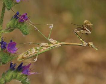 Эмпуза полосатая (Empusa fasciata Brullè, 1836)