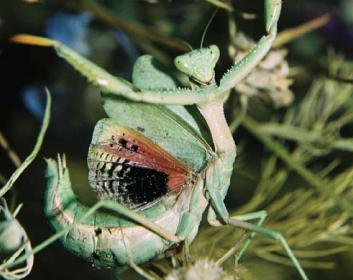 Ирис пятнистокрылый (Iris polystictica (Fischer-Waldheim, 1846))