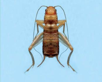 Цвіркун візантійський (Pseudomogoplistes buzantius Gorochov, 1995)