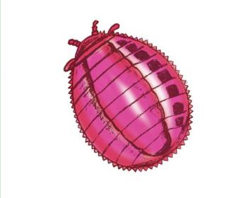 Кошеніль польська (Porphyropha polonica (Linneaeus, 1758).)