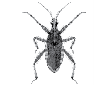 Коранус серый (Coranus griseus (Rossi, 1790))