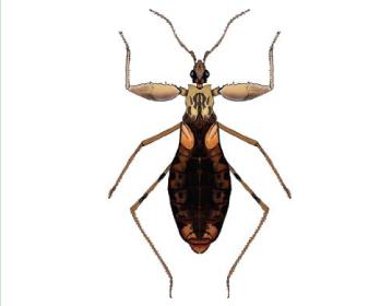 Онкоцефал крымский (Oncocephalus paternus Putshkov, 1984)