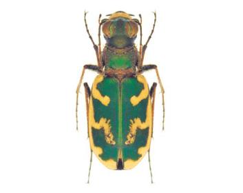Стрибун Бессера (Cephalota besseri (Dejean, 1826))