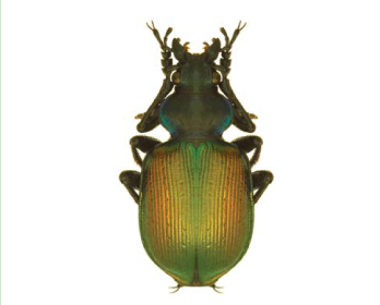 Красотіл пахучий (Calosoma (s.str.) sycophanta (Linnaeus, 1758).)