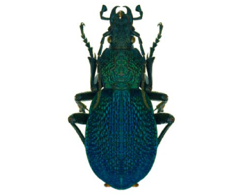 Слимакоїд кримський, турун кримський (Carabus (Procerus) scabrosus tauricus   (Bonelli, 1811))
