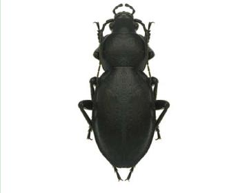 Турун угорський (Carabus (Pachystus) hungaricus   (Fabricius, 1792))