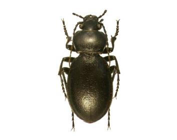 Жужелица бессарабская (Carabus (Tomocarabus) bessarabicus   (Fischer von Waldheim, 1823))