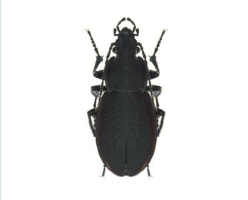 Турун Ештрайхера (Carabus (Trachycarabus) estreicheri (Fischer von  Waldheim, 1822))