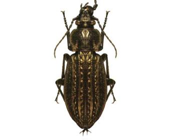 Турун Менетріє (Carabus (Carabus) menetriesi (Hummel, 1827))