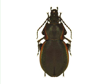 Жужелица Щеглова (Carabus (s.str.) stscheglowi   (Mannerheim, 1827))