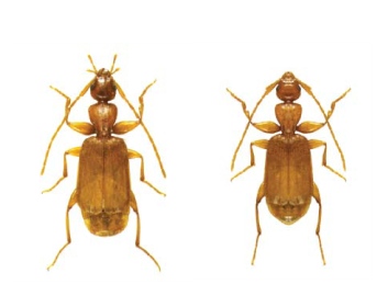 Жужелиця Шевролата (Parazuphium chevrolati (Castelnau 1833))