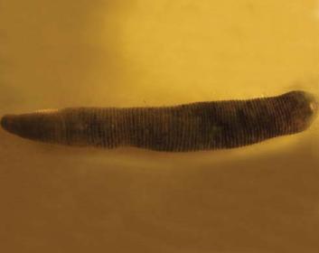 Псевдотрохета п'ятикільчаста (Fadejewobdella quinqueannulata (Lukin, 1929))