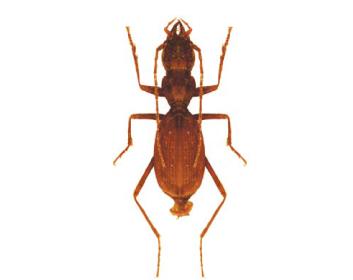Псевдофенопс Якобсона (Pseudophaenops jacobsoni (Pliginsky, 1912))