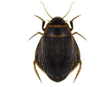 Плавунець широкий (Dytiscus latissimus (Linnaeus, 1758))