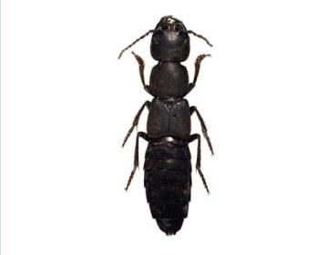 Быстроног короткокрылый (Ocypus curtipennis (Motschulsky, 1849))