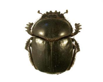 Скарабей священный (Scarabaeus sacer (Linnaeus, 1758))
