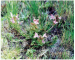 Pedicularis sylvatica L.