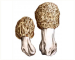 Morchella crassipes (Vent.) Pers