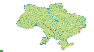 Stipa asperella Klokov et Ossycznjuk
